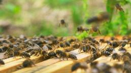Essaims d'abeilles à vendre Apisnoire