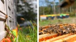 Notre abeille noire